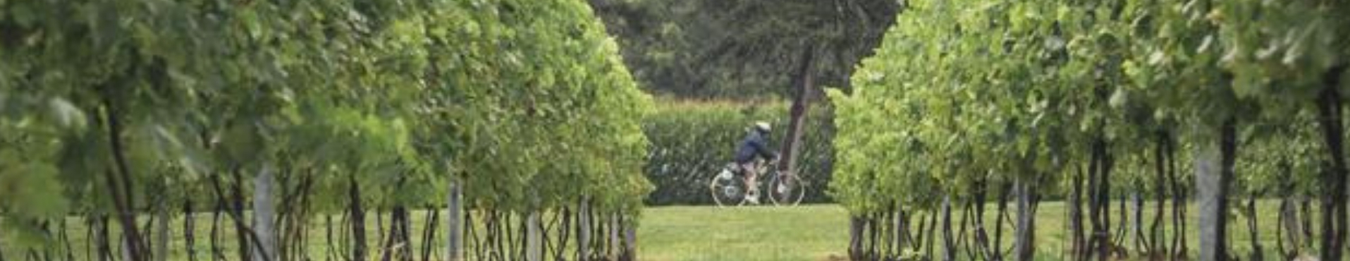 Cyclist seen through crops